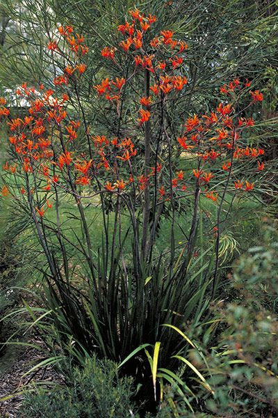 Anigozanthos flavidus is a species of plant found in south-west Australia. It is a member of the Haemodoraceae family. It is commonly known as the tall, yellow, or evergreen kangaroo paw.