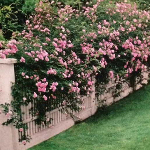 need a fence to grow these roses!