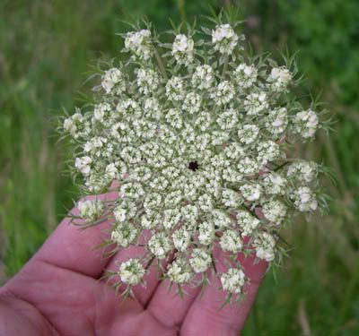 Queen Annes Lace (wild carrots) medicinal tea, jelly