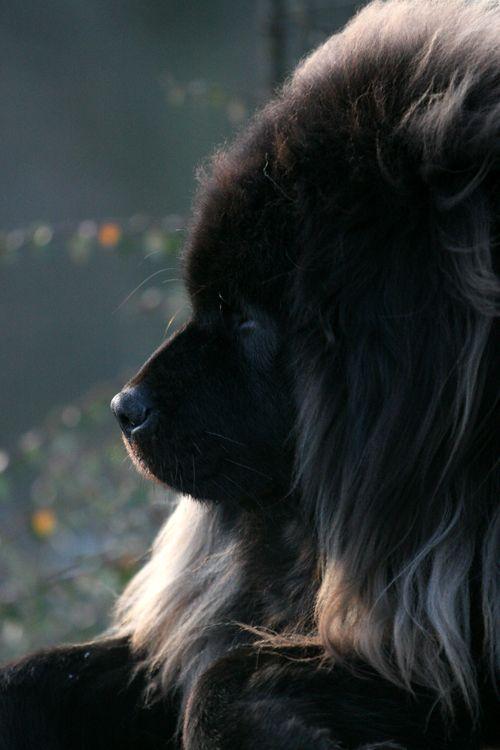Tibetan Mastiff Dog - Black Princess by SaNNaS on deviantART