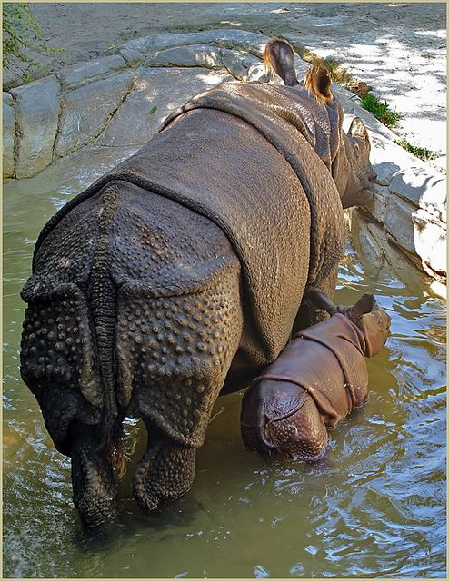 Shanti, a Greater One-Horned Rhino, Fort Worth Zoo. With her is Asha, her female calf born August 16, 2012. An endangered species native to India and Nepal