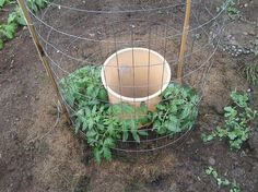 One Man's Genius Idea To Grow Tomatoes - I started may 28th planting 4 tomatoes around a garbage can with holes drilled in the bottom rim and a second row up about 10 inches… buried the can to where the top holes just barely were above the ground… put in two shovels full of compost… then I fill the can up with water every 2 days and try not to water the leaves…