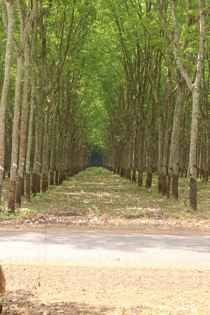 Rubber plantation - Cambodia