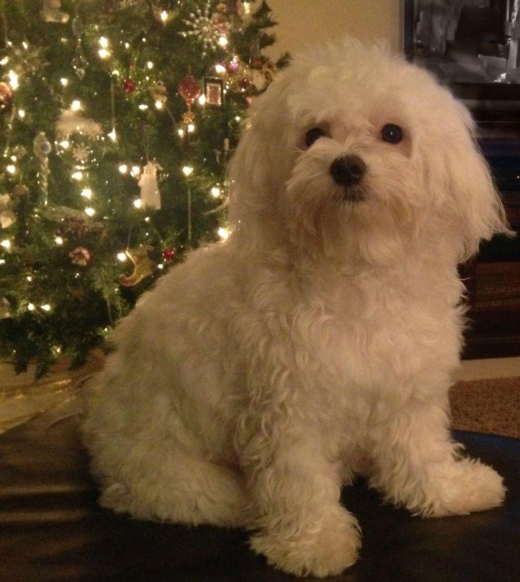 Bentley Bear   Puppy Love   Christmas
