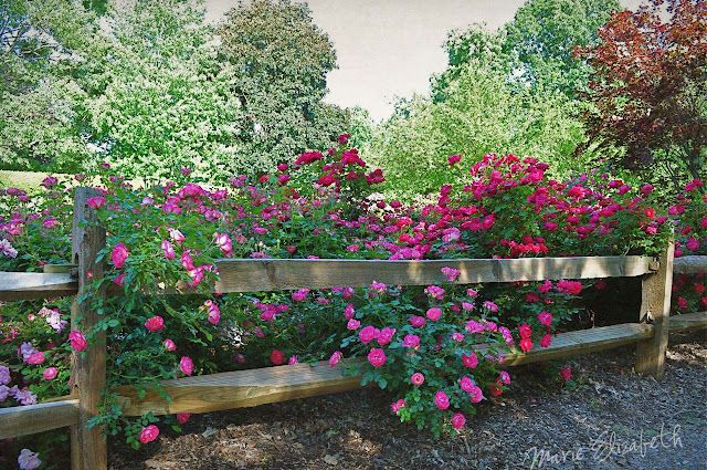 Roses along the fence, sneaking through the split rail! Can we transplant the roses we have in the shade to the front?