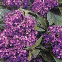 Как выращивать гелиотроп http://moirasteniya.blogspot.ru/2013/01/blog-post_9167.html