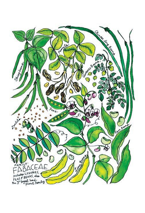 Fabaceae Bean Family Illustrated Watercolor Poster 13x19 on Etsy, $20.00