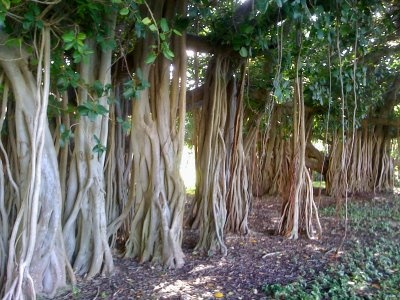 Banyan trees, Townsville, QLD