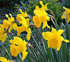 narcissus king alfred - Google Search