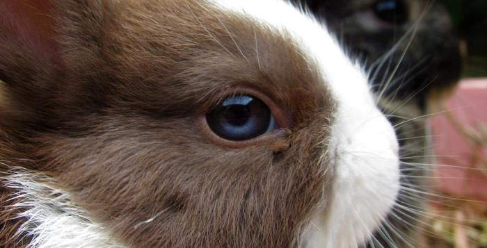 Zoo Plzeň vystaví české holuby, králíky a slepice