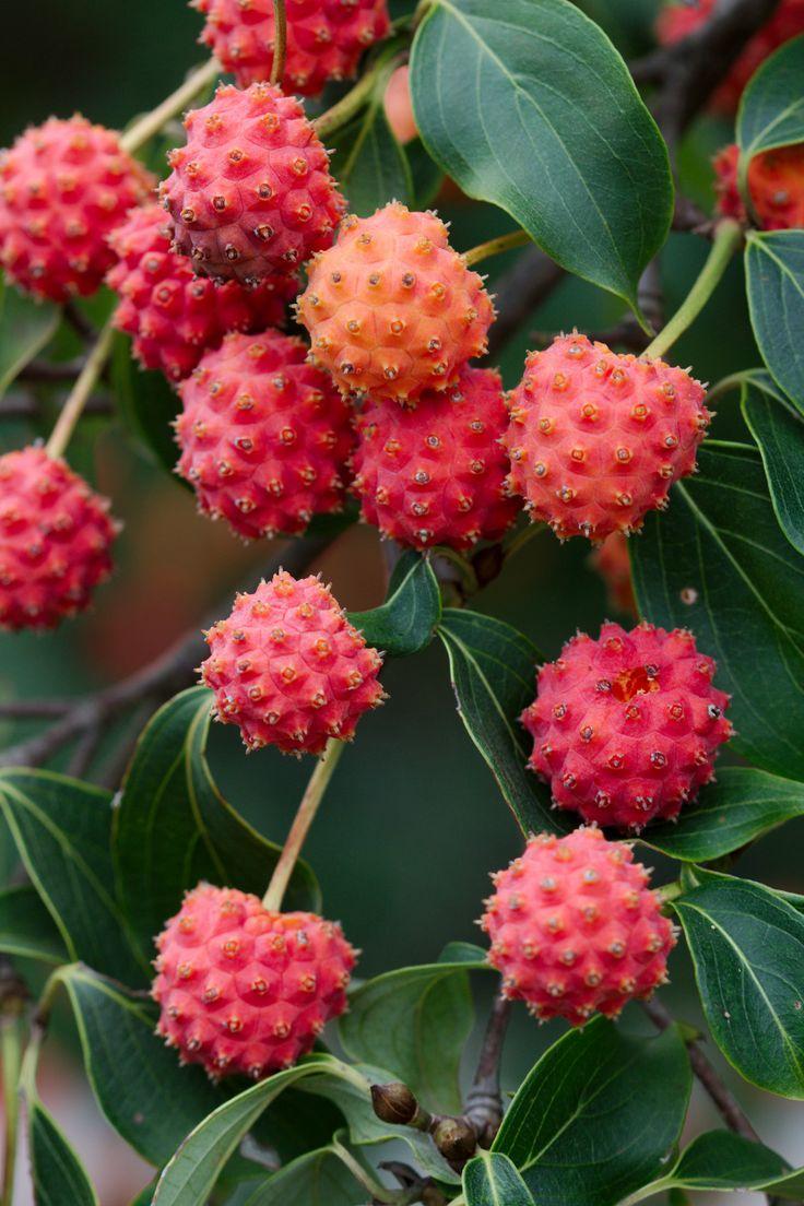 Cornus kousa. The Kousa dogwood tree has edible fruits, and they are fabulous.