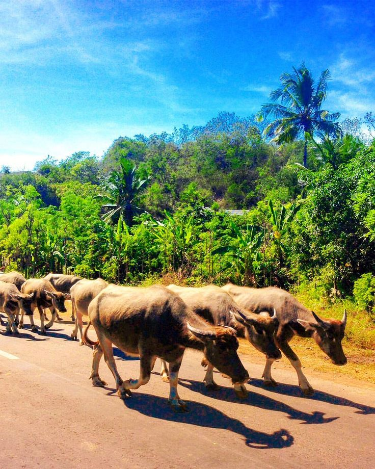 IRTHE J0GANG (@irthejogang): 'My favorite kind of traffic 🐃' #wildlife #lombok #indonesia #island #tropics