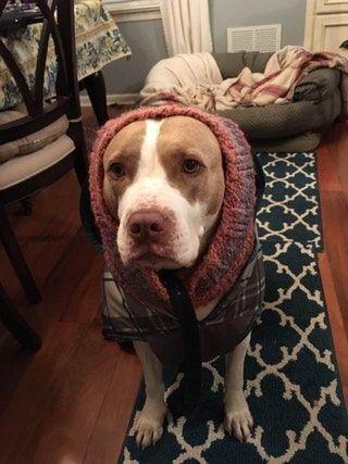My babushka lady, Hazel! : pitbulls