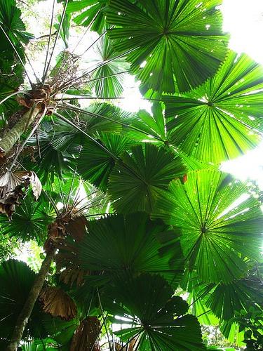 Licuala ramsayi - Native Australian Fan Palm