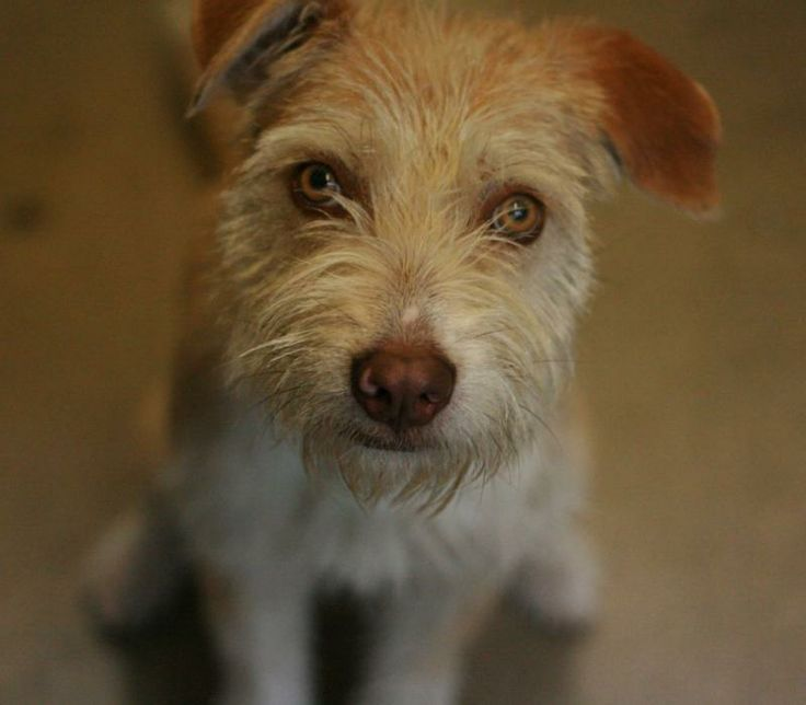 01/07/15-Tanner - Wheaten Terrier mix - 1 yr old - Pet Adoption Fund - Canoga Park, CA. - http://www.petadoptionfund.org/ -  https://www.facebook.com/petadoptionfund.canogapark?ref=mf - http://www.adoptapet.com/pet/10120583-canoga-park-california-wheaten-terrier-mix - http://www.petfinder.com/petdetail/28199081/