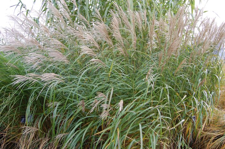 Miscanthus sinensis comes in many forms including 'Flamingo' and 'Silberfeder', both keep there height and form well and the wonderful flower heads can be kept to add interest in the garden throughout the winter months.