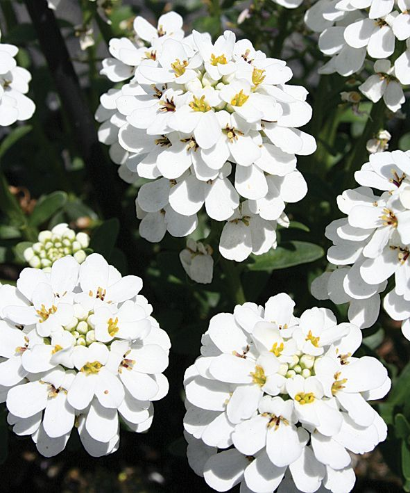 Snowball™+-+Evergreen+Candytuft+-+Iberis+hybrid