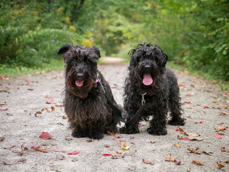 Scottie Of Pinterest Cuttest Black Dogs On Earth Scoodle