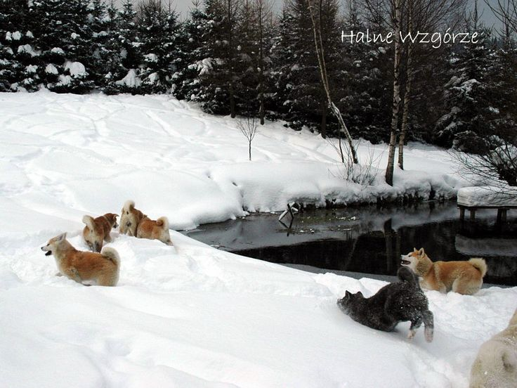 pack snow Akitas from kennel Halne Wzgórze