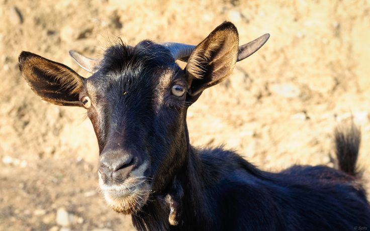 Friendly goat in Poros