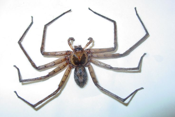 Florida Nature: Heteropoda venatoria - Huntsman Spider