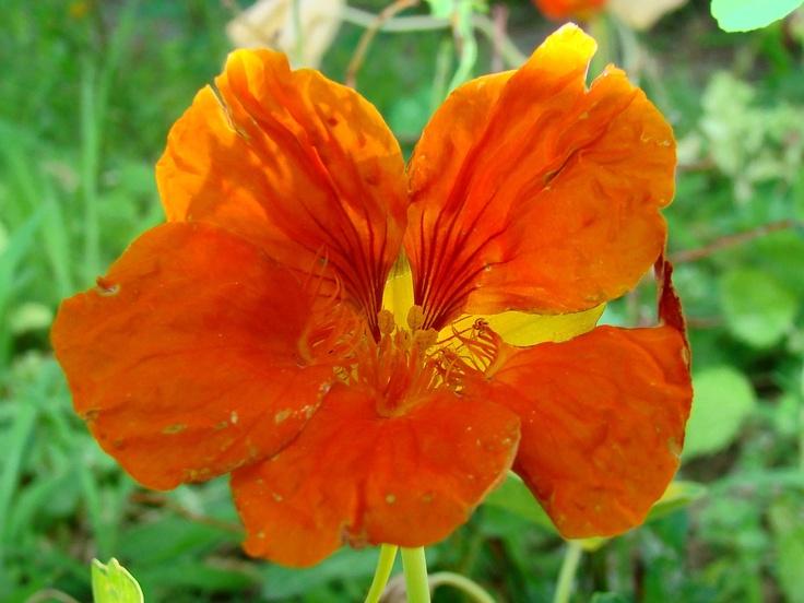 Tropaeolum majus - Image courtesy of Jardim Botanico UTAD, biggest botanical garden in Europe. http://facebook.com/utadjb a new HD photo every day.