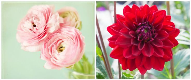 These peonies and dahlias are simply stunning!