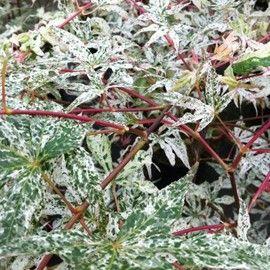 149 best feuillage margin ou panach images on pinterest - Erable du japon vert ...
