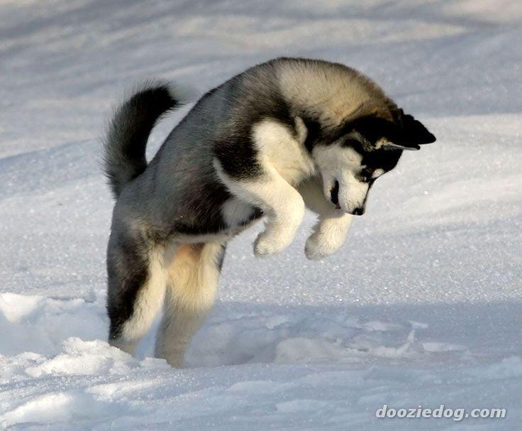 Husky: Dogs, Siberianhuski, Pet, Snow, Siberian Husky Puppies, Siberian Huskies, Puppy, Huskies Puppies, Animal