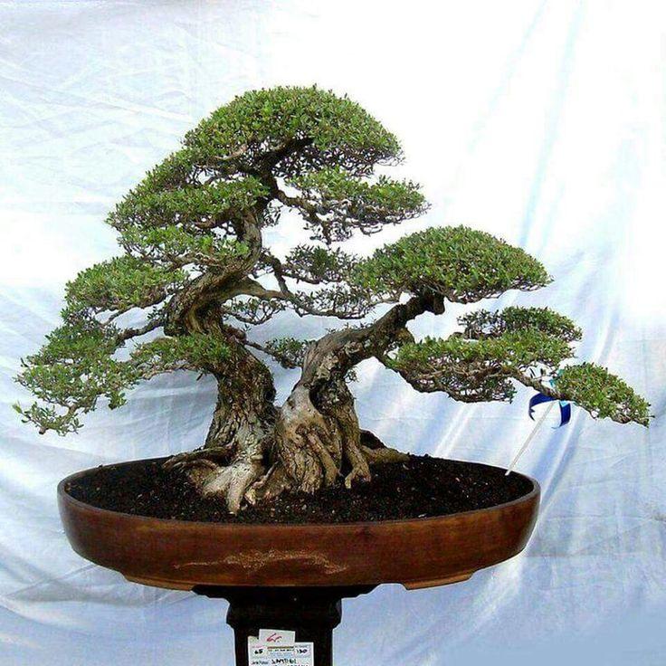 Die 866 besten bilder zu bonsai auf pinterest bonsai for Bonsai hydrokultur
