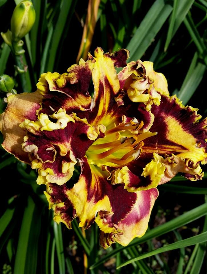 Exploding Galaxy at Jammin's Daylily Garden.  https://www.facebook.com/246108752091237/photos/a.707793969256044.1073742137.246108752091237/707793999256041/?type=1