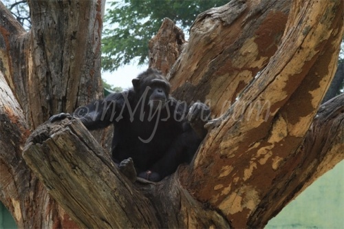 Mysore Zoo Chimpanzee