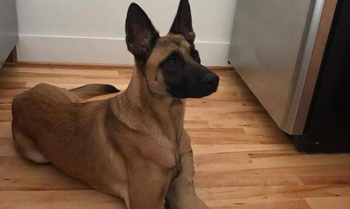 A Military Explosives Detection Dog Retired From The Military Is Missing In Virginia According To 13 News N Detection Dogs Malinois Dog Belgian Malinois Dog