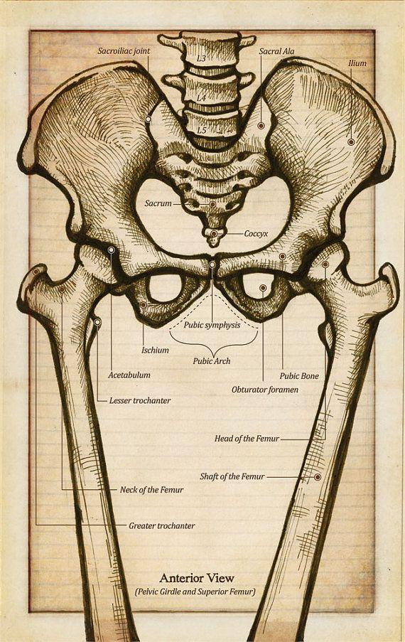 Anatomy of the Pelvic Girdle Flash CardSkeletal Anatomy, Anatomy Sets, Anatomical Art, Human Anatomy, Antiques Style, Anatomy Helpful, Anatomy Of The Human Back, Pelvic Girdle, Bones Skull Skeletons