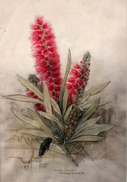 Callistemon Foresterae: Population 3000 by Paul Kalemba http://www.pjkalemba.com/drawing/an-australian-summer/ #australianart #australianflora