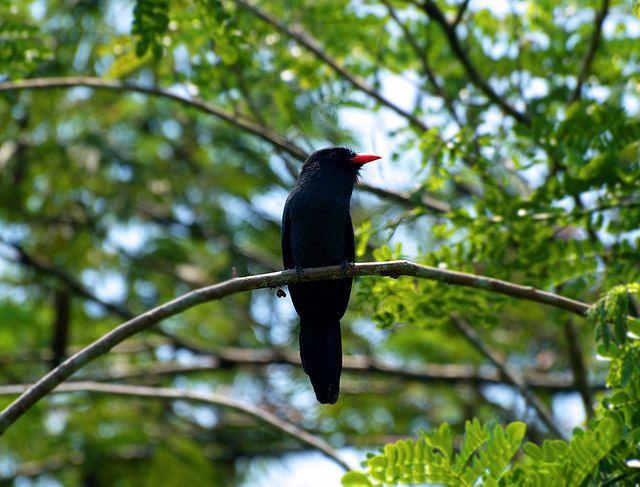 BUCCONIDAE - Monasa nigrifrons - Black-fronted nunbird - Monjita piquiroja 27CMS-96DPI   por Reserva Natural Palmari - Official site