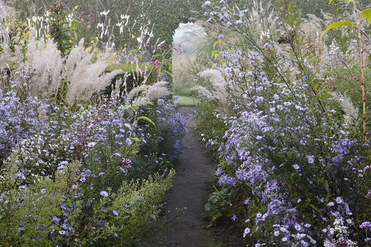 Le Jardin Plume - asters galore, with calamagrostis brachytricha, tall white cimicifuga candle sticks behind. possibly calamintha lower left