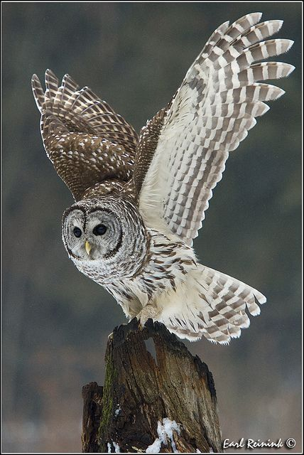 Barred Owl....watching and hoping to see one of these in my back yard