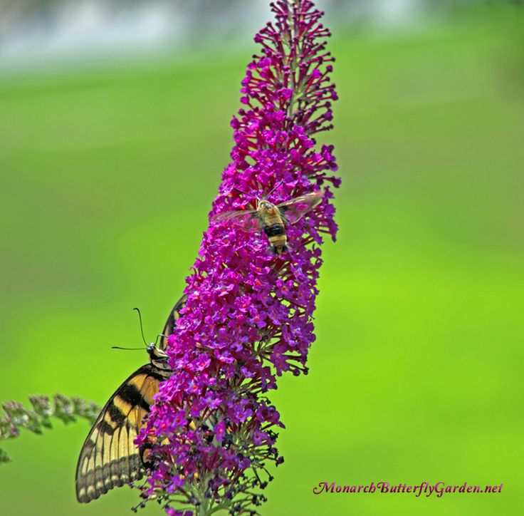 Swallowtail Butterflies and Hummingbird Moths are just two of many pollinator visitors that frequent our dwarf butterfly bushes...