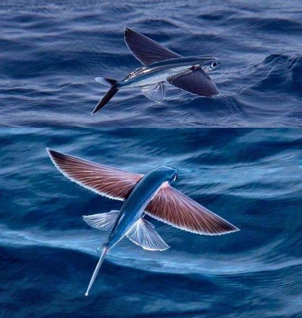 Le poisson volant