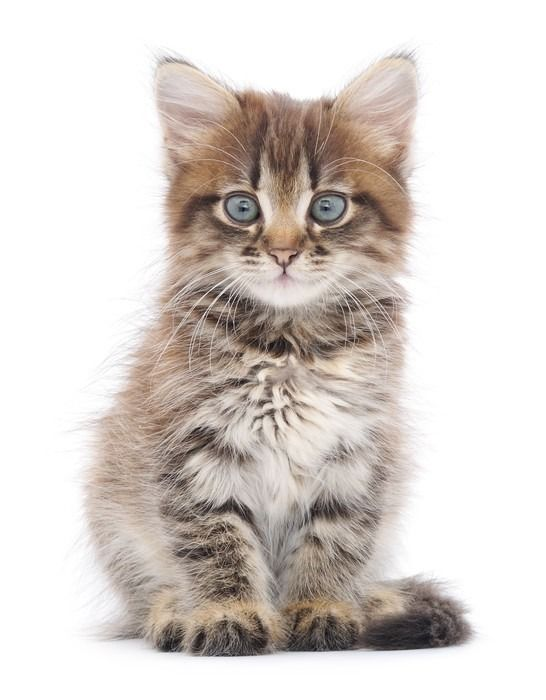 Kitten On A White Background Wall Mural Pixers We Live