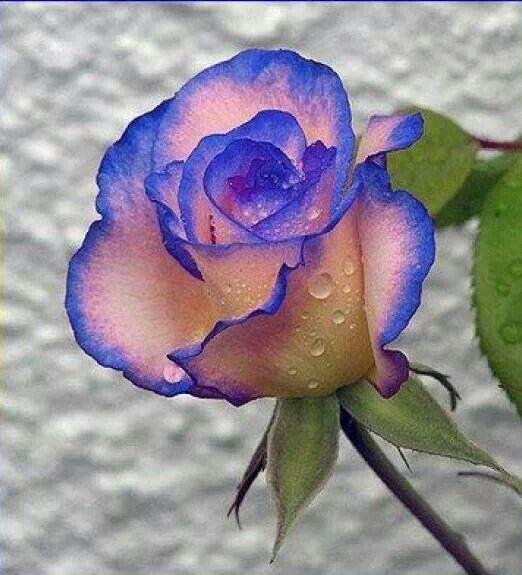 174 besten blaue rosen bilder auf pinterest sch ne blumen blumen pflanzen und lila blumen. Black Bedroom Furniture Sets. Home Design Ideas