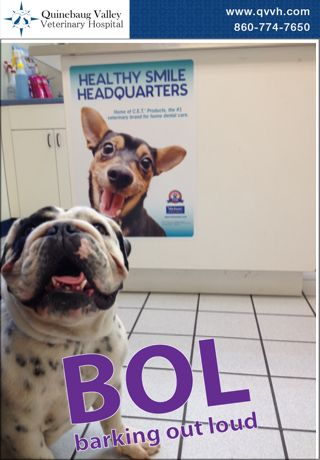 Stella the English Bulldog has a dog smile that rivals our Healthy Smile Headquarters poster.