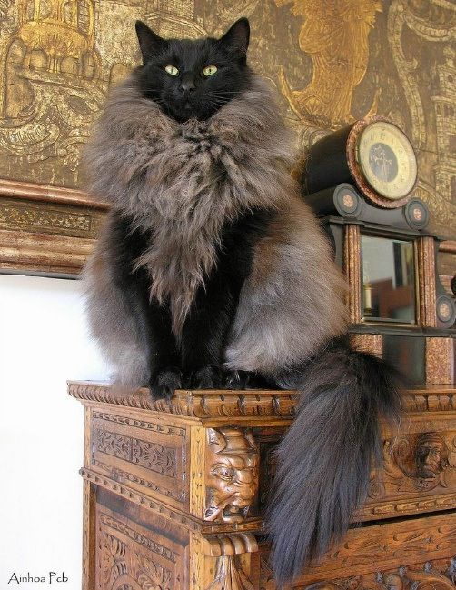 looks like it is a vest this kitty is wearing http://www.mainecoonguide.com/maine-coon-vs-norwegian-forest-cat/