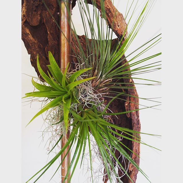 Bloodwood Botanica | Copper Tillandsia Sculpture  Plant Art at its finest