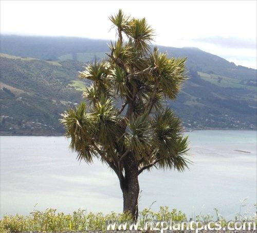 cordyline_australis - Cabbage Tree