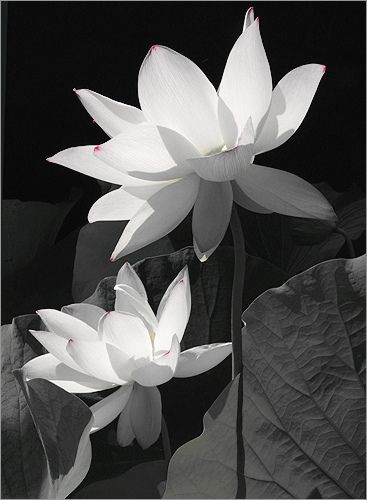 Lotus flower img 5424