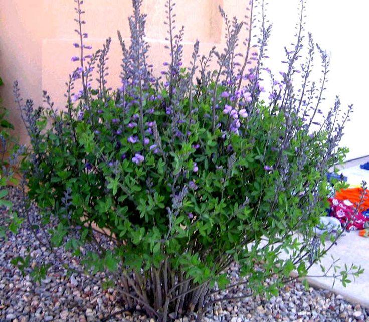 Baptisia Australis (Wild Blue Indigo or Wild False Indigo) -- native N-American perennial.