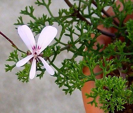 P. fruticosum