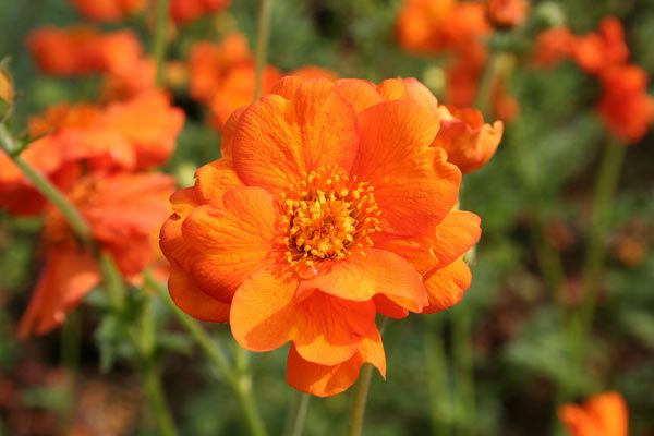 Geum Prinses Juliana A Stunning Variety Of Avens With Fiery Orange Flowers From June To September Held On Wiry Stems Above Pretty Hummocks